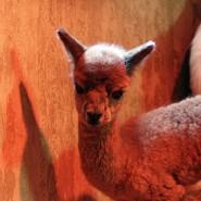 Рождение малыша альпаки в зоопарке Лимпопо фотографии