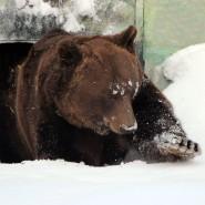 Медведь Балу проснулся после зимней спячки в зоопарке «Лимпопо» фотографии