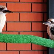 Смеющиеся кукабарры в зоопарке «Лимпопо» фотографии