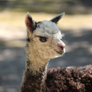 Зоопарк «Лимпопо» выбирает имя для малышки-альпаки фотографии
