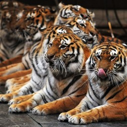 Цирковая программа «Тигры-суматры»