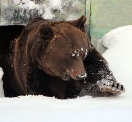 Медведь Балу проснулся после зимней спячки в зоопарке «Лимпопо»