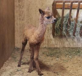 Рождение малыша альпаки в зоопарке Лимпопо
