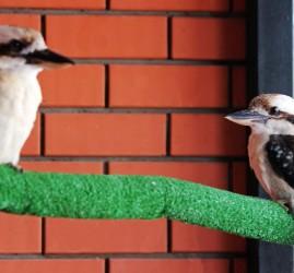 Смеющиеся кукабарры в зоопарке «Лимпопо»