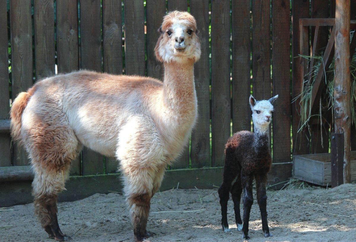 Зоопарк «Лимпопо» выбирает имя для малышки-альпаки