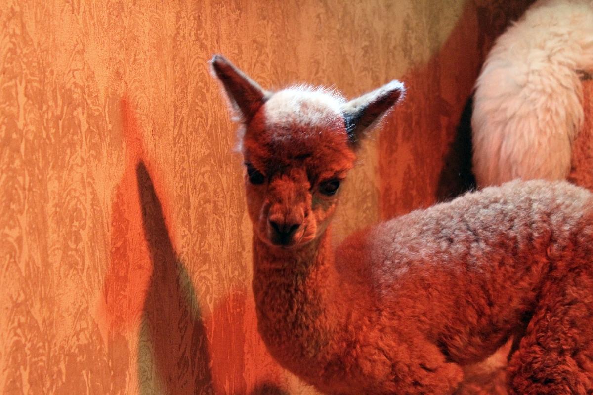 Рождение малыша альпаки взоопарке Лимпопо