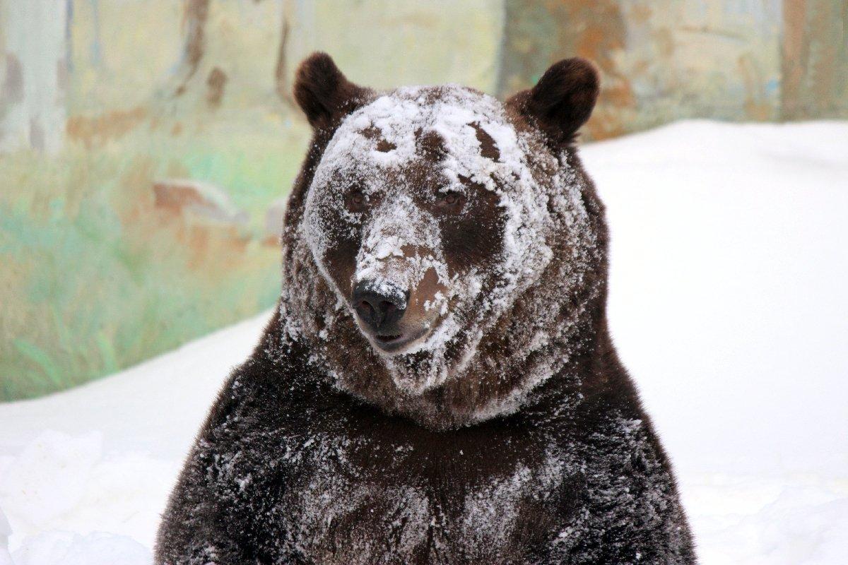 Медведь Балу проснулся после зимней спячки взоопарке «Лимпопо»