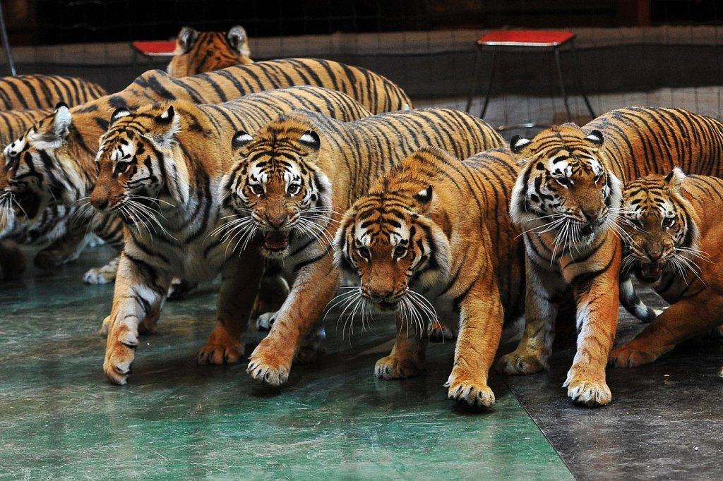 тигры картинки много для золотого